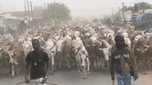 [PHOTOS] SPECIAL «BERNDE» CHEZ BETHIO : 818 bœufs, 102 cuisines dans 33 quartiers de Touba, 18 chameaux, plus de 500 moutons et coqs