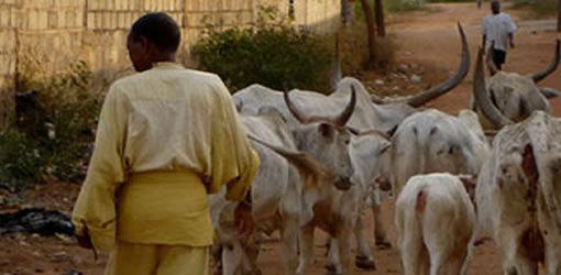 POUR VENIR EN AIDE AUX ELEVEURS DANS LE DESARROI : L'etat lance «Opération sauvegarde des bétails»