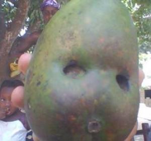 ZIGUINCHOR/ LA NATURE SE DEVOILE A DIABIR : Une mangue à la forme d'une tête humaine