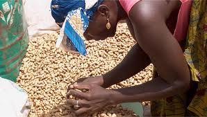 40 milliards de fcfa pour la campagne de commercialisation de l'arachide : Le gouvernement lance l'opération « Tek Teggi »