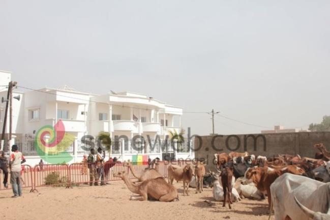 Photos - Magal 2013 : Les Thiantacounes mobilisent des milliers de bêtes pour les « berndés »