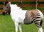 [PHOTO] Zèbre ou Cheval? Un étrange zébrule suscite la curiosité en Allemagne