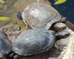 Préservation des tortues marines : Les plages de Joal dans le collimateur de Wwf