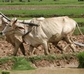 PLAN REVA DANS LE BASSIN DE L'ANAMBE - Objectif : 300 000 tonnes de riz cette saison
