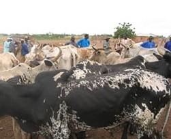 DAHRA DJOLOFF: Le plus grand marché hebdomadaire de bétail du Sénégal