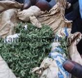 [PHOTOS] Un champ de yamba débusqué et 158 personnes interpellées par la gendarmerie Tambacoundoise
