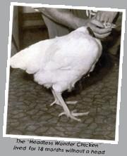 Un poulet américain qui a vécu plus d'une année sans sa tête.