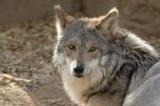 Un loup et une chèvre tombent amoureux l'un de l'autre