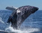 Une centaine de baleines échouent sur la plage de Yoff