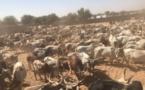 Les bœufs d'Aziz Ndiaye pour Serigne Abdoul Aziz Al Amine