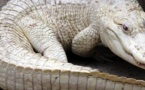 Gambie : Ils neutralisent et tuent le géant crocodile blanc de Yaya Jammeh
