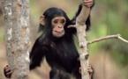 Hlm : Un singe sème la terreur dans la localité et s'en prend aux humains, aux chiens et aux moutons…Ecoutez