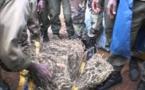 97 kg de chanvre indien saisis à Diamniadio
