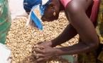 Campagne de commercialisation de l'arachide: 6152,733 Tonnes collectées en 2 mois à Kolda