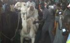 VIDEO - L'épouse de Cheikh Béthio Thioune fait son entrée sur le dos du dromadaire, elle a failli chuter