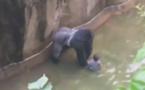 Vidéo : Un zoo tue son gorille après la chute d'un enfant dans l'enclos