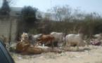 DOMICILE DE Me MADICKE NIANG AUX ALMADIES: Une trentaine de bœufs en guise de soutien