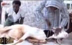 Impréssionnant dans QG Mahfouz Mbacké (fils de Serigne Modou Kara) parle avec les animaux